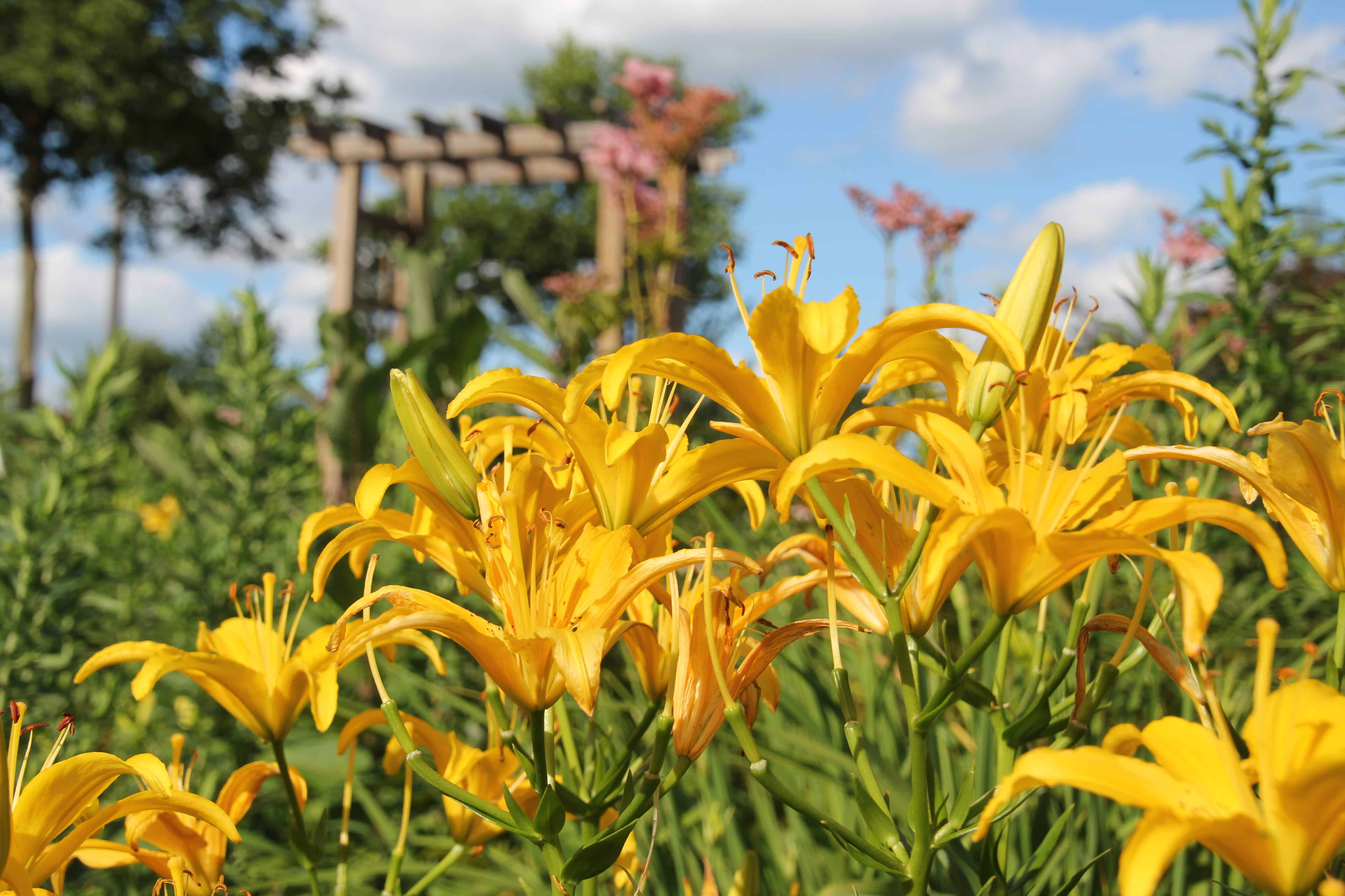 yellow flowers in Butterfly garden